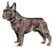 Dogs/Frenchbulldog.jpg